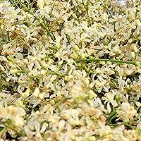 YUVIKA Neem Phool - Neem Ka Phool - Azadirachta Indica - Neem Flowers (100 Grams)