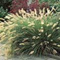Lampenputzergras Hameln von Meingartenshop auf Du und dein Garten