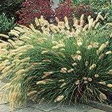 Pennisetum Hameln - 1 plante
