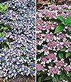 BALDUR-Garten Zwerg-Hortensien-Kollektion 2 Pflanzen,1 Pflanze Zwerg-Hortensie Koreana & 1 Pflanze Lace Delight Hydrangea von Baldur-Garten auf Du und dein Garten