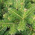 25 Stück Nordmanntanne Weihnachtsbaumpflanze als Wurzelware 4.jährig15-25 cm von Pflanzen-Discounter24.de auf Du und dein Garten