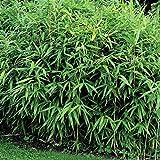 Zwergbambus, bis 80 cm hoch, schnell wachsend, 1 Pflanze mit 5 bis 8 Trieben im 2 Liter Topf - zu dem Artikel bekommen Sie gratis ein Paar Handschuhe für die Gartenarbeit dazu
