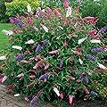 Schmetterlingsflieder Tricolor - 1 strauch von Meingartenshop - Du und dein Garten