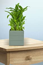 Exotic Green Good Luck 3 Layer Bamboo Indoor Plant