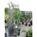 Árbol de Mango - planta - Maceta tubo - Altura aprox. 1,50m. - Planta viva -