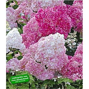 Baldur Garten Freiland Hortensien Vanille Fraise 1 Pflanze