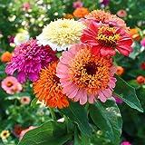 Zinnia a fleurs de dahliaEldorado 120 graines