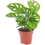 Vibrant Monstera Obliqua - Hoja de mono | Planta interior en maceta, 20 - 30 cm con maceta