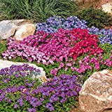 Alpines - Grown by Lanacshire Plants (Garden Ready) (Pack of 3 Mixed Alpines for £6.99 (£2.33 each), Alpines 9cm Potted)