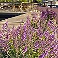 ECHTE Katzenminze Samen - Katzenminzen/Nepeta mussinii von Rekwiat - Du und dein Garten