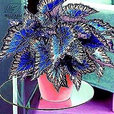 Pinkdose® BD838HxT1: 2018 Neu eingetroffen !!Davitu Seltene Coleus Bonsai Laubpflanzen Samen 30 stücke Perfekte Bunte Coleus Blumei Schöne Blumen Hausgarten - (Farbe BD838HxT1)
