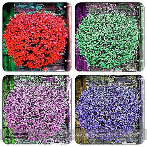 Rare hybride Mixte Rouge Vert Rose Violet Lin Lin Hanging Bonsai Flowewr Graines, Paquet professionnel, 50 graines / Pack, Belle 1