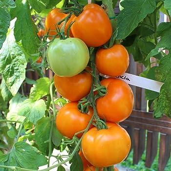 10 Samen Valencia Tomate – einzigartiger Geschmack, leuchtend orange