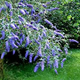 Schmetterlingflieder Adonis Blue