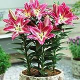 1x Bulbo lirio Plantas naturales exterior Bulbos de Lilium Flores para plantar Bulbo Lilium Bulbos de primavera Lirio enano o