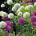 Allium Combo Mount Everest + Gladiator–10blumenzwiebeln von Gardens4you bei Du und dein Garten