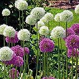 allium Combo Mount Everest + Gladiator-10bulbi di fiori