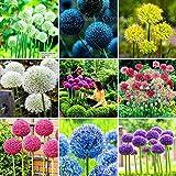 100 Purple Giant Allium Giganteum Beautiful Flower Seeds Garden Plant the budding rate 95% rare flower for kid