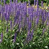 Foerster-Staude Garten-Blüten-Salbei Tänzerin im 3er-Set rot blühend Steingartenstaude Sonne Salvia nemorosa im 0,5 Liter Topf 3 Pflanzen