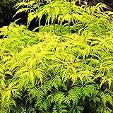 Sambucus racemosa 'Sutherland Gold' - Sureau à grappes jaune