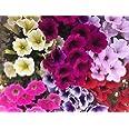 Petunia,Surfinia Pack 6 plantas 14 cmø - Vipar Garden 11