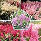 10 x Astilbe Colección Mix | 5 variedades | 2 de cada color | grandes arcos duros de invierno de raíces nucas / plantas vivac