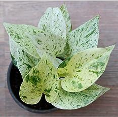Ugaoo Good Luck Money Plant Marble with Pot