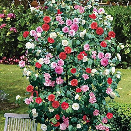 camellia-tricolour-tricolour-bush-grown-by-lanacshire-plants-garden-ready