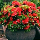 1 X RED Azalea Japanese Evergreen Shrub Hardy Garden Plant in Plastic Growers Pot