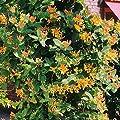 Geißblatt goldgelb von Meingartenshop bei Du und dein Garten