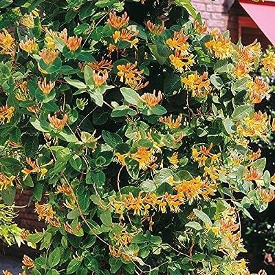 Geißblatt goldgelb von Meingartenshop - Du und dein Garten