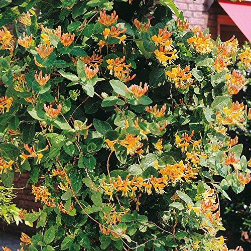 Geißblatt goldgelb - 1 strauch