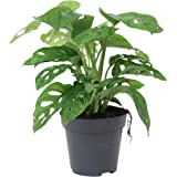 Monstera obliqua Monkey Leaf | Pianta del pane americana |Purificazione dellaria |Altezza 20-30 cm |Vaso Ø 12 cm