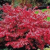 Euonymus alatus Burning Bush - 2 shrubs