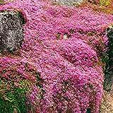 10x Thymus serpyllum | Thym sperolet rose | Plantes d'extérieur fleuries | Hauteur...