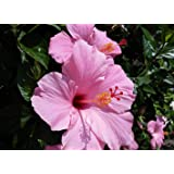 Exoticflora Flowering Plants Hibiscus Pink -flowering Healthy Live Plant With 6 Inches Fiber Pot (Real Flowering For Garden A