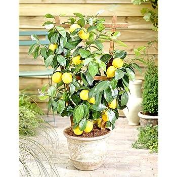 Agrumi PIANTA VERA DI LIMONE SIRACUSANO IN VASO 20 CM - pianta da frutto
