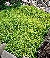 BALDUR-Garten Zitronenthymian; 3 Pflanzen Thymus citriodorus aureus von Baldur-Garten bei Du und dein Garten