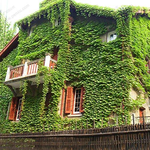 Escalade Parthenocissus Graine de plantes Rouge (Vert) Couleur Ivy Seed 1 Professional Paquet 60 Graines