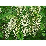 150 Tree Seeds Fast, Hardy, Fragrant Black Locust Robinia pseudoacacia