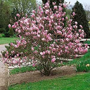 magnolien set bestehend aus je 1 pflanze tulpenmagnolie. Black Bedroom Furniture Sets. Home Design Ideas