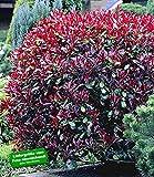 BALDUR-Garten Photinia-Hecke 'Red Robin', 5 Pflanzen Heckenpflanzen immergrüne winterharte Hecke