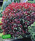 BALDUR-Garten Photinia-Hecke 'Red Robin'