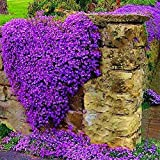 Yukio Samenhhaus - 100 Korn Kletterpflanzen Saatgut Rankende Gärten Blumensamen winterhart mehrjährig für Stein, Wand, Fenster, Terasse, Balkon