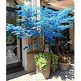 100% real fantasma japonés semillas del árbol de arce azul Bonsai, 10 semillas / Paquete, Acer palmatum atropurpureum, Bonsai