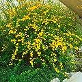 Ranunkelstrauch (Kerria) gelb, 1 Pflanze von Amazon.de Pflanzenservice auf Du und dein Garten