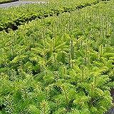 Nordmann-Tanne - Abies nordmanniana - Weihnachtsbaum Tannenbaum Topf-Pflanze Immergrün Winterhart - Tannen vom Testsieger Garten Schlüter