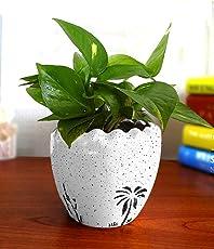Rolling Nature Good Luck Air Purifying Live Money Plant White Ruffel Aroez Ceramic Pot