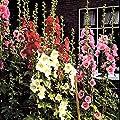 Stockrosen Mischung von Meingartenshop auf Du und dein Garten