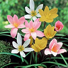seedsnpots Zephyranthes Rain Lily Bulbs (Multicolour) - Pack of 10